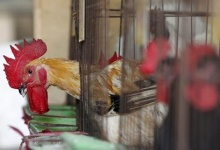 Chickens sit inside cages after a New Taipei City Department of Environmental Protection worker sprayed sterilizing anti-H7N9 virus disinfectant around chicken stalls in a market in New Taipei City April 8, 2013. REUTERS/Pichi Chuang
