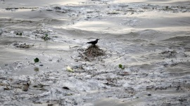 A crow sits over the floating bushes in the flooded waters of river Yamuna after heavy monsoon rains in New Delhi June 18, 2013.  REUTERS/Ahmad Masood