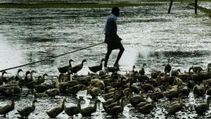 A man moves his ducks away in Alleppey town, 90 km south of Cochin  August 8, 2003. REUTERS/Sherwin Crasto/Files