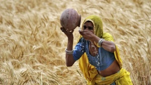 A woman farmer drinks water from an earthen pot in a wheat field on the outskirts of Ajmer in Rajasthan, April 4, 2015. REUTERS/Himanshu Sharma/Files