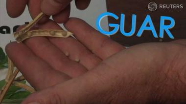 Guar: The obscure bean worth a bundle - Decoder