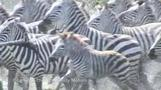 How the zebra got its stripes - scientists reveal all