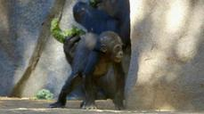 Baby gorilla finds her feet
