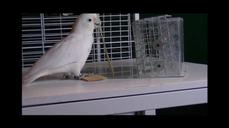 Cockatoos learn carpentry skills from peers