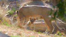 Lion cubs the pride of San Diego Zoo