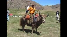 Polo players ride yaks in popular event