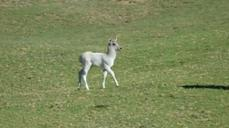 Rare white waterbuck calf at San Diego Zoo