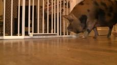 Virginia family fights to keep pet pig
