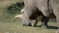 San Diego Zoo's white rhinos provide hope for the critically endangered species
