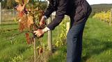 Bumper year for world's most northerly vineyard