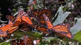 Monarch butterflies descend upon Mexican forest during annual migration