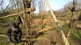 Chimpanzee knocks drone out of sky with stick in Netherlands zoo