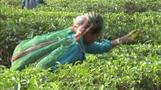 Climate change sparks tension in India's tea gardens
