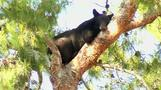 Bear in tree spooks California neighborhood