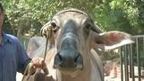 Cow prints, a more humane way to identify cattle