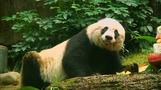 World's oldest panda