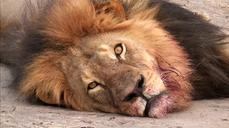 Biologist who studied Cecil the lion says hunting remains a difficult reality