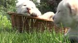 Four rare white lions born in Crimean zoo