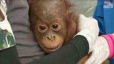 Health checks for smuggled orangutans in Indonesia