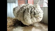 Australian sheep is unofficially the world's woolliest