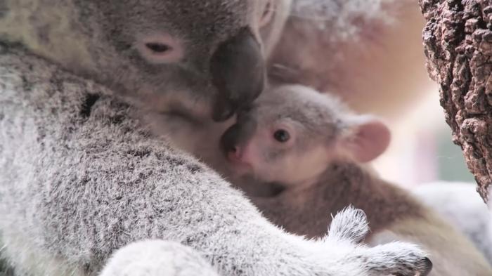 Baby koala at Australian zoo wows social media