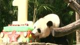 Panda Bei Bei's mom digs into birthday cake