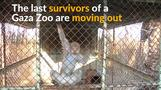Last surviving animals transferred from Gaza Zoo