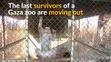 Last surviving animals transferred from Gaza zoo