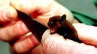 Thermal bat detection gets scientists in a flutter