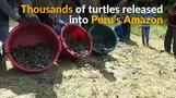 Peru frees thousands of turtles into the Amazon