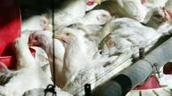 Waste chicken feathers could help insulate homes