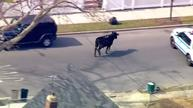 Police go on bull chase in New York