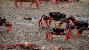 Crabs invade Cuba's Bay of Pigs