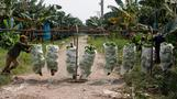 Chinese banana boom a blessing and curse in Laos