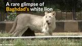 Rare white lion celebrates first birthday in Baghdad zoo