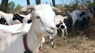 'Goat Fire Brigade' helps save Spain from forest fires