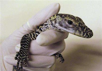 A baby Komodo dragon is held by a keeper after hatching at Chester Zoo in Chester, January 22, 2007. REUTERS/Phil Noble