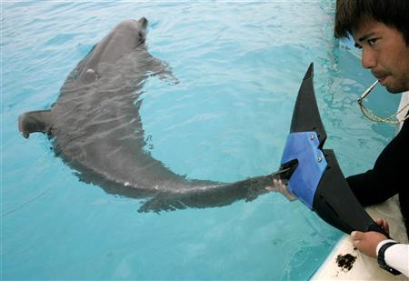 A keeper holds an artificial tail fluke attached to female bottlenose dolphin ''Fuji'', estimated to be 37-years-old, at Okinawa Churaumi Aquarium in Motobu town on the southern Japanese island of Okinawa February 14, 2007. Fuji's handlers say the fake tail may have saved her life as she had put on dangerous amounts of weight from being inactive after she lost her tail. REUTERS/Issei Kato