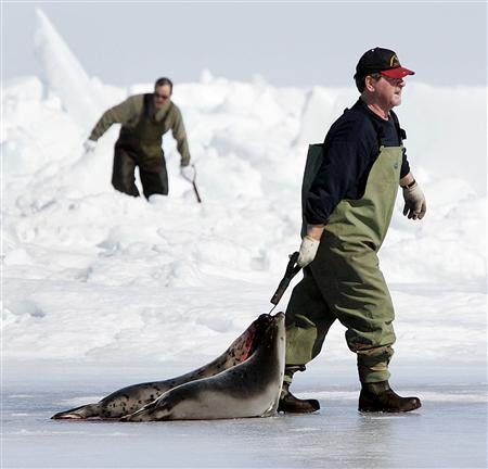 Two sealers drag recently killed harp seals towards their boats during the Canadian east coast hunt in the Gulf of St. Lawrence in this April 1, 2005 file photo. As animal rights activists gear up for their protest against this year's hunt, the sealers complain no one wants to hear their side of the story. REUTERS/Paul Darrow/Files
