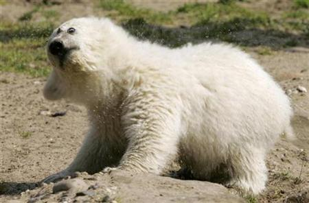 Polar bear cub Knut shakes off water at an enclosure in Berlin zoo April 17, 2007. Knut has received an anonymous death threat, causing alarm at Berlin Zoo on Thursday and prompting heightened security. REUTERS/Arnd Wiegmann