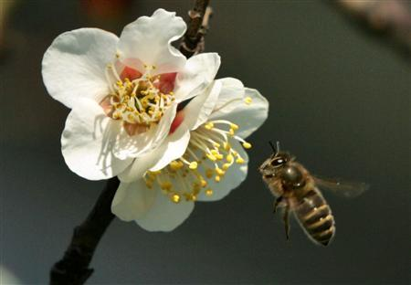 A file photo of a honeybee hovering to collect nectar from the blossoms of a Japanese plum tree at Yushima Tenjin shrine in Tokyo February 14, 2006. REUTERS/Kimimasa Mayama
