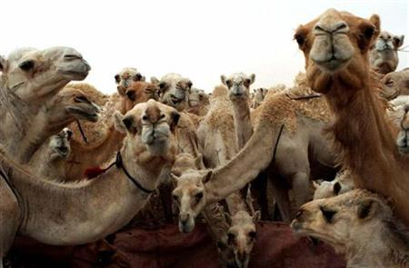 A herd of camels stares after it is disturbed during its lunch of hay at the Riyadh camel market May 23. This week, the Qahtani tribe of western Saudi Arabia has been welcoming entrants to its Mazayen al-Ibl competition, a parade of the ''most beautiful camels'' in the desolate desert region of Guwei'iyya, 120 km (75 miles) west of Riyadh. REUTERS/Leonhard Foeger