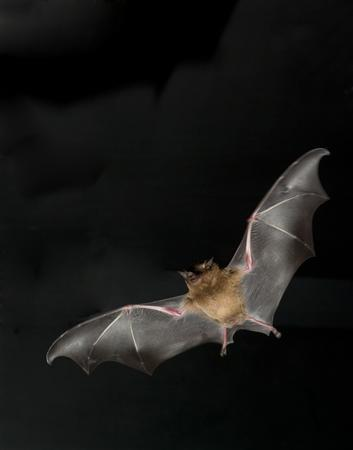 A small nectar-feeding bat is shown in flight in this undated photograph. Bats and birds, the only two vertebrate fliers on Earth, use their wings very differently, according to scientists who observed small, nectar-feeding bats flying through fog in a wind tunnel. REUTERS/Courtesy Science/Handout