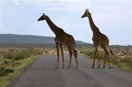 Giraffes cross the road in the Maasai Mara National Reserve in this March 21, 2006 file photo. Lunchtime at an upmarket Kenyan safari lodge in what should be the slow off-season, and the dining room is packed with tourists from all over the world. REUTERS/Radu Sigheti/Files