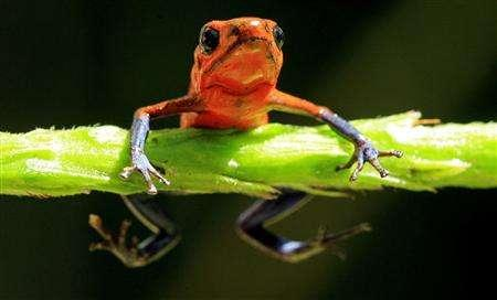 A Blue Jeans Dart Frog, Dendrobates pumilio, is seen at La Selva biological station in Sarapiqui, in this January 12, 2006 file picture. Global warming is the top suspect for the disappearance of 17 amphibian species from Costa Rican jungles, scientists said on May 22, 2007, warning monkey and reptile populations were also plummeting. About a third of the 5,743 known species of frogs, toads and other amphibians are classified as threatened, according to the Global Amphibian Assessment survey. REUTERS/Juan Carlos Ulate/Files