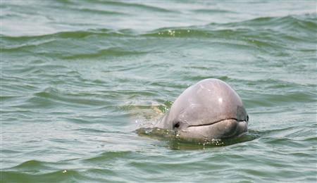An Irrawaddy dolphin is seen at Chilika Lagoon in the eastern Indian state of Orissa February 25, 2006. Dolphins living off the coast of Wales whistle, bark and groan in a different dialect from dolphins off the western coast of Ireland, scientists have discovered. REUTERS/Dipani Sutaria/Handout