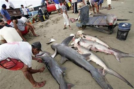A fisherman slices the fin off a shark at a beach in Manta, Ecuador, January 6, 2007. Fish and chips, coral jewelry and wooden musical instruments will take centre stage at a U.N. wildlife forum next week which seeks to curb the billion-dollar trade in endangered marine and tree species. REUTERS/Guillermo Granja