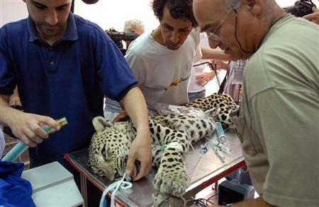 A captured leopard receives a medical checkup at the Beit Dagan Veterinary Hospital, near Tel Aviv, May 28, 2007. It was captured in the Negev in southern Israel, reportedly while hunting a cat inside a house. REUTERS/Yossi Zeliger