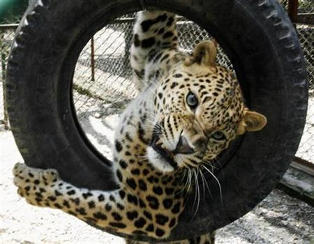 A leopard plays with a rubber tire inside its cage at a leopard rescue centre in Madharihut, India, May 3, 2007. Forest guards in western India are using cell phones with ringtones of cows mooing, goats bleating and roosters crowing to attract leopards that have wandered into human settlements, officials said on Monday. REUTERS/Rupak De Chowdhuri