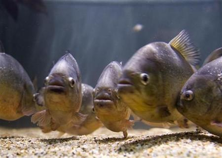 Piranhas swim in the sweet water aquarium in Mora Southern Portugal March 21, 2007. Despite their fearsome reputation, piranhas are wimps that gather in large shoals to protect themselves from predators, scientists said on Monday. REUTERS/Jose Manuel Ribeiro